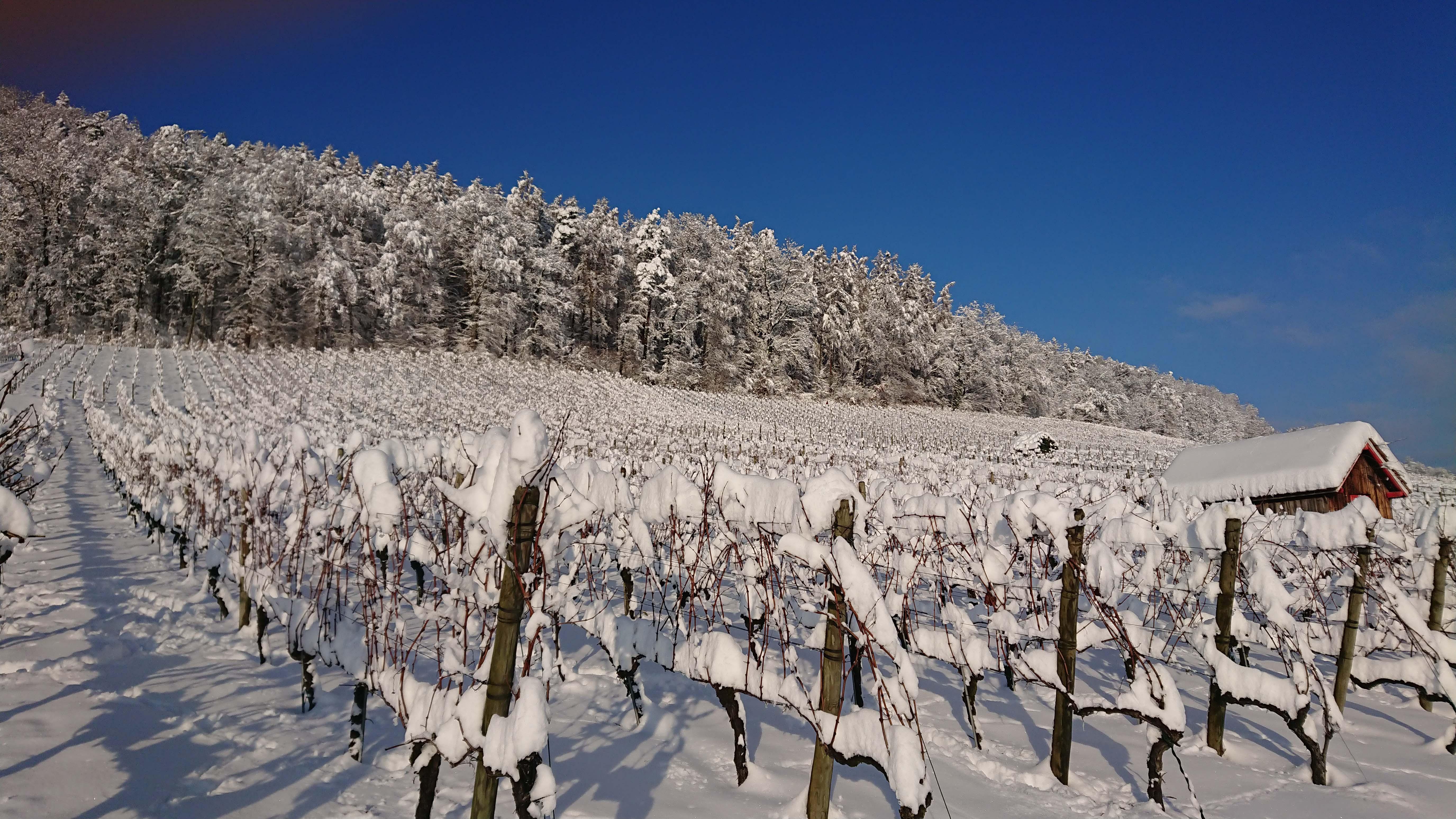 Reben im Schnee
